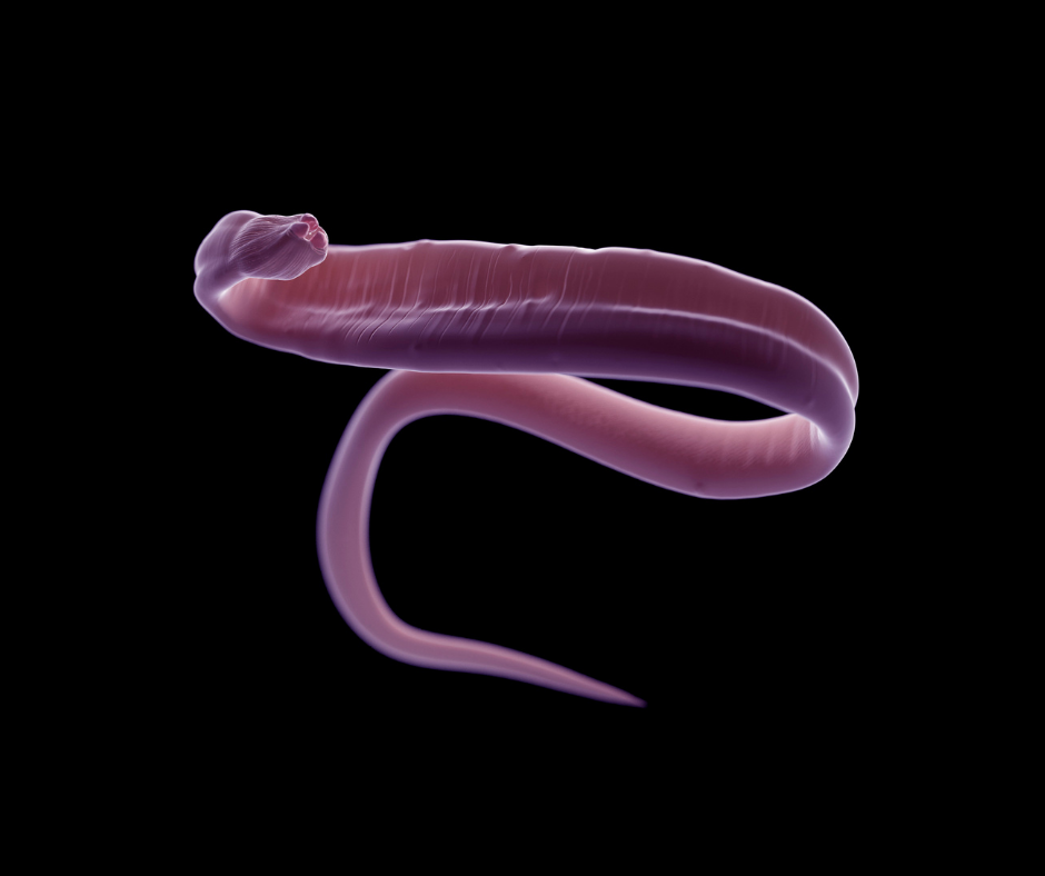 A closeup image of a roundworm found in dogs